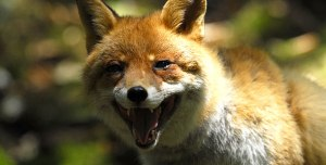 610_ag_red-fox