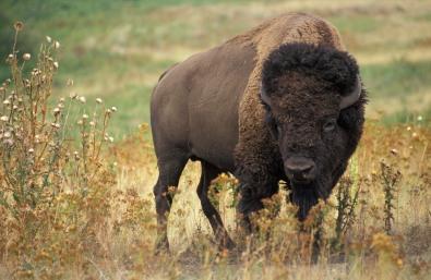 American_bison_k5680-1