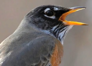 Robin calling song