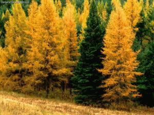 tamaracks_spruce