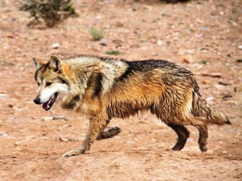 Mexicanwolf2